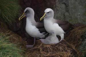 Buller's mollymawk parents and chick, Solander Island, May 2016. Image: Colin Miskelly, Te Papa