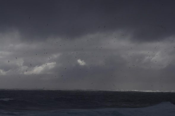 A flock of Buller's mollymawks approaching the north coast of Solander Island. Image: Colin Miskelly, Te Papa