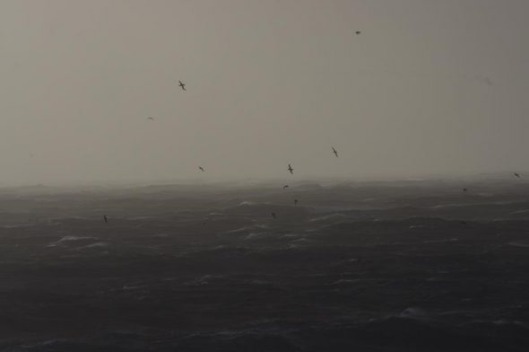Buller's mollymawks in a gale, viewed from Solander Island, May 2016. Image: Colin Miskelly, Te Papa