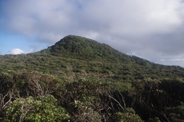 Summit forest (mainly Olearia lyallii), Solander Island. Image: Colin Miskelly, Te Papa