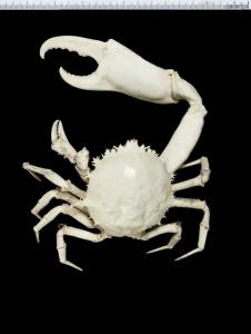 Frilled crab, Trichopeltarion fantasticum Richardson & Dell, 1964. The holotype was collected in Palliser Bay in January 1956. Found at depths of 22–750 metres. Image: Te Papa