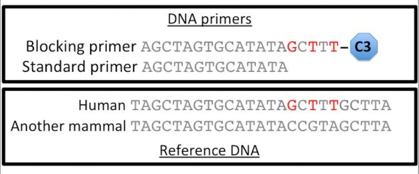 Hypothetical alignment of human and another mammal's DNA sequence (reference DNA sequences). DNA primers have been designed to these sequences. The standard primer matches both mammal DNA sequences exactly. The blocking primer matches human DNA (bases that match human sequence but not the other mammal sequence are shown in red). The blocking primer ends with a C3 spacer, which stops copies being made of the human DNA.