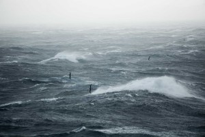 Buller's Albatross flying at sea in a storm near Hautere/Solander Island. Photo Dominique Filippi, Copyright Dominique Filippi