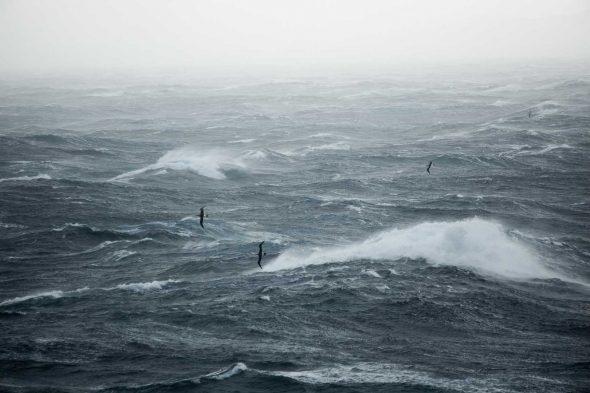 Buller's Albatross flying at sea in a storm near Hautere/Solander Island. Photo Dominique Filippi, Copyright Dominique Filippi
