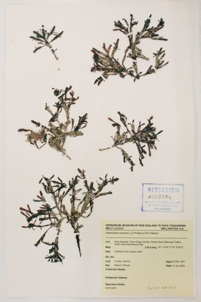 Adamsiella melchiori L.E.Phillips & W.A.Nelson, collected 03 March 1997, North West Bay, Great Island (Manawa Tawhi), Three Kings Islands. Te Papa herbarium sheet A028584