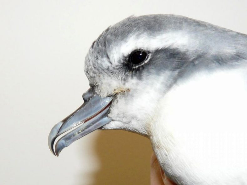 Prions, like all petrels, partly find their prey in the featureless oceans by smell – they have prominent nostrils on the tops of their beaks. Photo: Antarctic prion, Wellington Zoo, Alan Tennyson, New Zealand Birds Online.