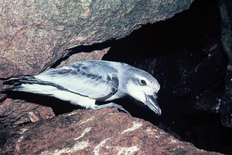 The prion population at The Snares was badly affected when about 200,000 broad-billed prions died in a storm in 2011. Photo: Alan Tennyson, New Zealand Birds Online.