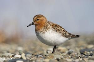 Red-necked stint in breeding plumage, Bering Sea coast, southern Chukotka, June 2008. Image: Sergey Golubev, NZ Birds Online