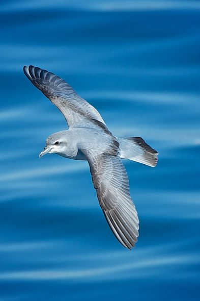 Prions are one of the most common seabirds in the southern oceans. Photo: Fairy prion off Whangaroa, Les Feasey, New Zealand Birds Online.