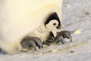 Emperor penguin chick being brooded by its parent, Haswell archipelago, Antarctica, September 2012. Image: Sergey Golubev, NZ Birds Online