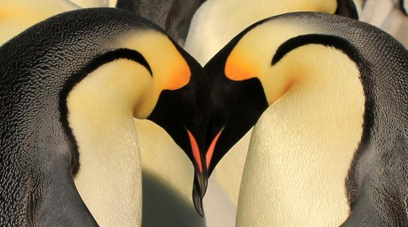 Emperor penguin greeting display, Haswell archipelago, Antarctica, September 2012. Image: Sergey Golubev, NZ Birds Online