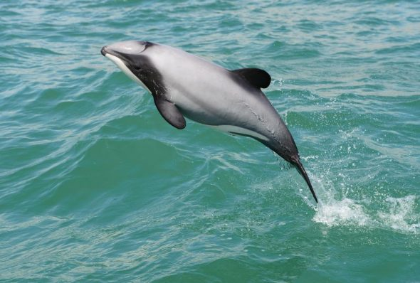 Hector's dolphin (Cephalorhynchus hectori) – New Zealand's first protected dolphin – but only in the waters of Cook Strait between 26 October 1956 and 1 March 1959, and 17 March 1966 to 4 July 1968. Image: Steve Dawson, New Zealand Whale and Dolphin Trust