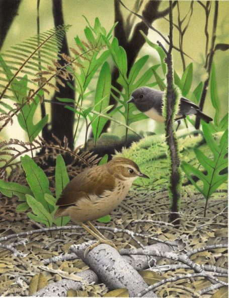 South Island stout-legged wren, Pachyplichas yaldwyni, 2005, by Paul Martinson, watercolour on paper. From the series 'Extinct Birds of New Zealand'. Te Papa (2006-0010-1/2) May 2006 Equipment: Cruse CS 185SL450 Synchron Light Scanner Software Used: Adobe Photoshop CS 8.0 This file is property of Te Papa Press