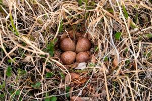 Red-necked stint nest with four eggs, Putorana Plateau, North-Central Siberia, July 2010. Image: Sergey Golubev, NZ Birds Online