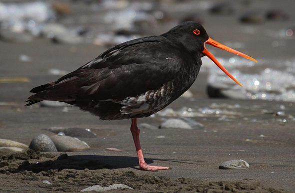 Variable oystercatcher, Whanganui, October 2010. Image: Ormond Torr, NZ Birds Online