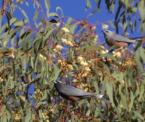 White-browed woodswallows, Central Victoria. Image: Sonja Ross, NZ Birds Online