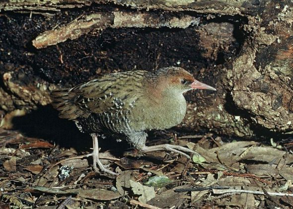 Auckland Island rail, captive adult, Mount Bruce Wildlife Centre, September 1975. Image: Rod Morris, NZ Birds Online