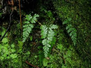 Cave spleenwort (Asplenium cimmeriorum). Image: Leon Perrie, Te Papa