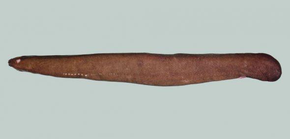 Cryptic hagfish (Eptatretus cryptus). Image: Carl Struthers, Te Papa