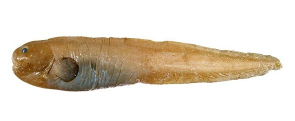 Roberts' eelpout (Seleniolycus robertsi), Ross Dependency. Image: Andrew Stewart, Te Papa