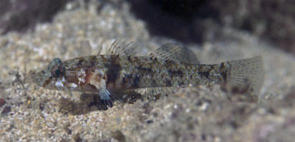 Thalasseleotris iota, Mokohinau Islands. Image: Kendall Clements