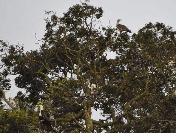 Two red-footed boobies (at top right, and preening in the centre of the image) and a female great frigatebird (lower left) roosting in a Kermadec pohutukawa on Napier Islet, 31 March 2016. Image: Steve Wood, New Zealand Birds Online
