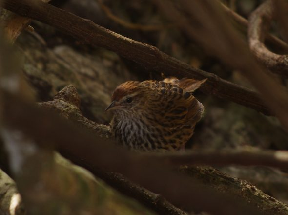 Fernbird on Taumaka, September 2016. Image: Colin Miskelly, Te Papa