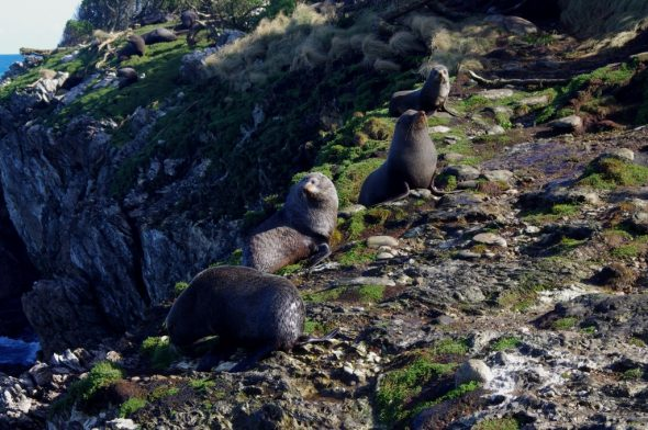 New Zealand fur seals on Taumaka. Image: Colin Miskelly, Te Papa