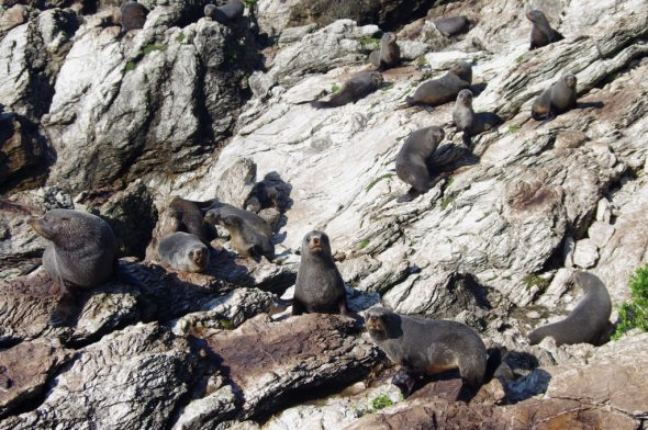 New Zealand fur seals on the limestone rocks of Taumaka. Image: Colin Miskelly, Te Papa