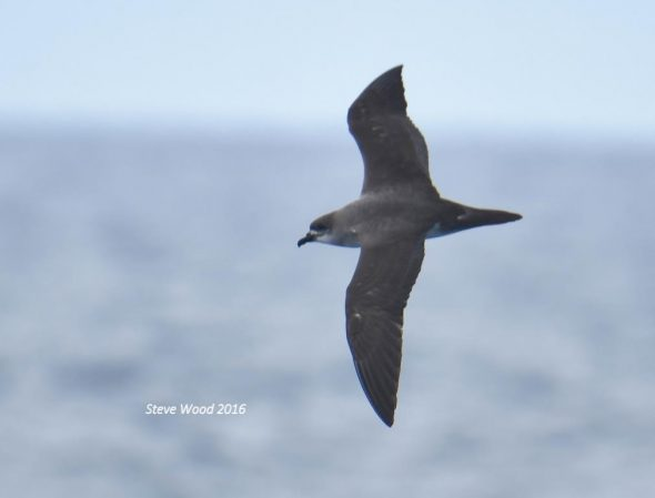 New Zealand's first Herald petrel, photographed among the Herald Islets (Kermadec Islands) on 29 March 2016. Image: Steve Wood, New Zealand Birds Online