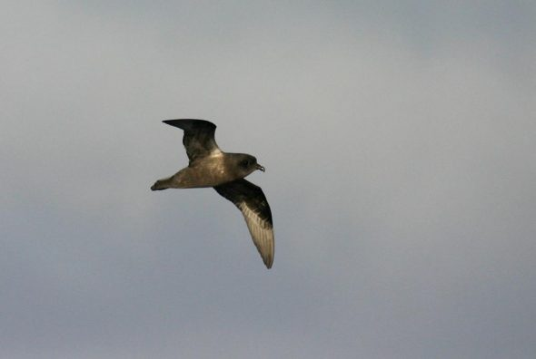 Kerguelen petrel, South Atlantic. Image: David Boyle, NZ Birds Online