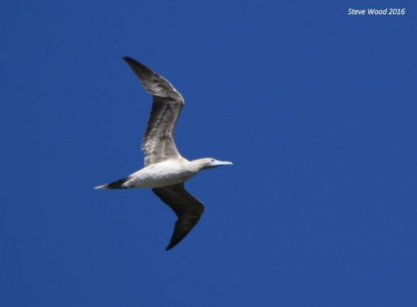 Red-footed booby flying near Napier Islet (Kermadec Islands), 2 April 2016. Image: Steve Wood, New Zealand Birds Online