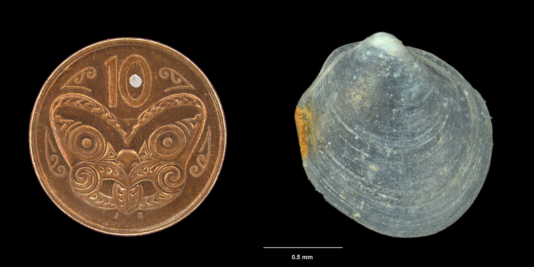 To the left you can see a tiny shell a 10 cents coin. On the right is the stacked photograph the microscope produced of the same shell