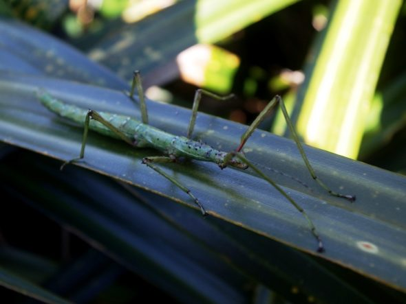 Prickly stick insect (Acanthoxyla prasina) on Taumaka, September 2016. Image: Colin Miskelly, Te Papa