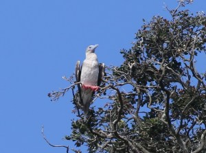Red-footed booby on Napier Islet, Kermadec Islands, 2 April 2016. Image: Robert Atkinson, New Zealand Birds Online