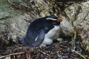A male tawaki / Fiordland crested penguin broods its young chicks on Taumaka, September 2016. Image: Colin Miskelly, Te Papa