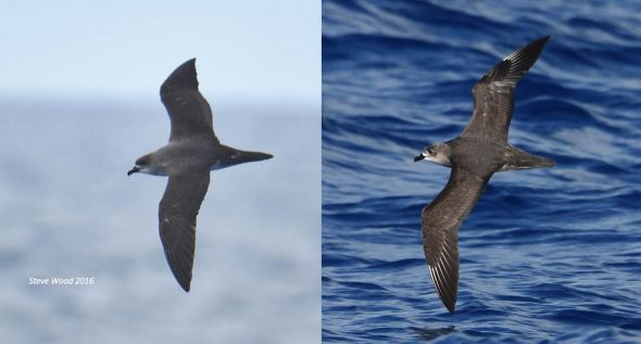 Herald petrel (left) and Kermadec petrel, showing differences in outer wing markings and relative tail length. Images: Steve Wood