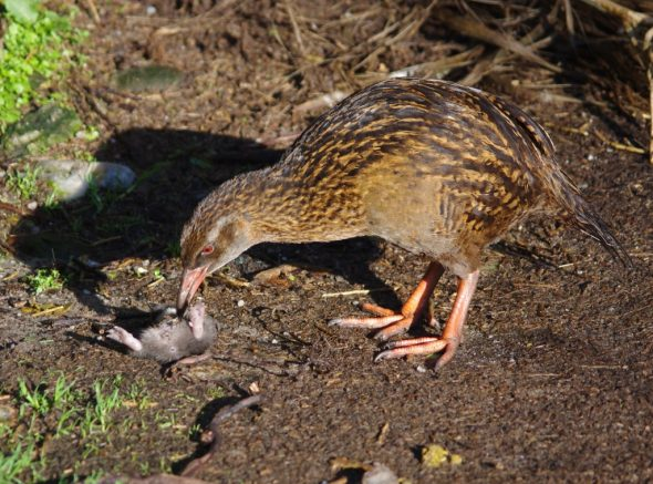 Weka with tawaki / Fiordland crested penguin chick, Taumaka, September 2016. Image: Colin Miskelly, Te Papa