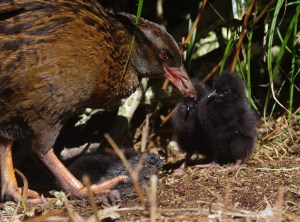 An adult weka feeding a dead tawaki chick to its brood of three young chicks. Image: Colin Miskelly, Te Papa