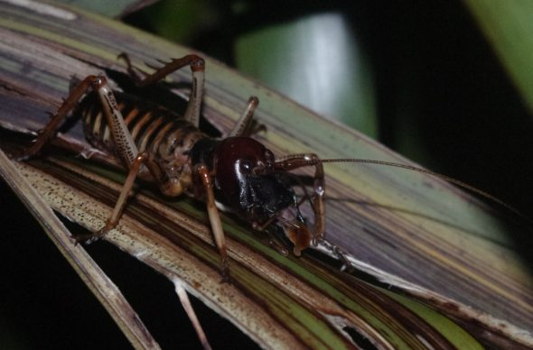 Male Wellington tree weta (Hemideina crassidens) on Taumaka, September 2016. Image: Colin Miskelly, Te Papa