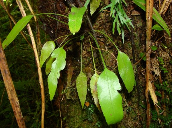 An interesting feature of Asplenium lepidotum is that it can retain simple fronds to a much larger size than its New Zealand relatives. Photo by Lisa Bennett. CC BY-NC. From NatureWatchNZ.