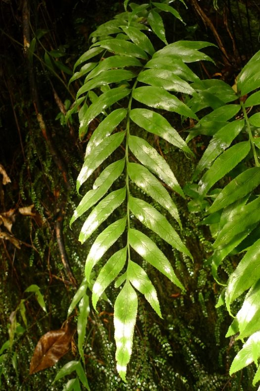 Asplenium lepidotum is a new species, just recently described. Photo by Leon Perrie. © Te Papa.