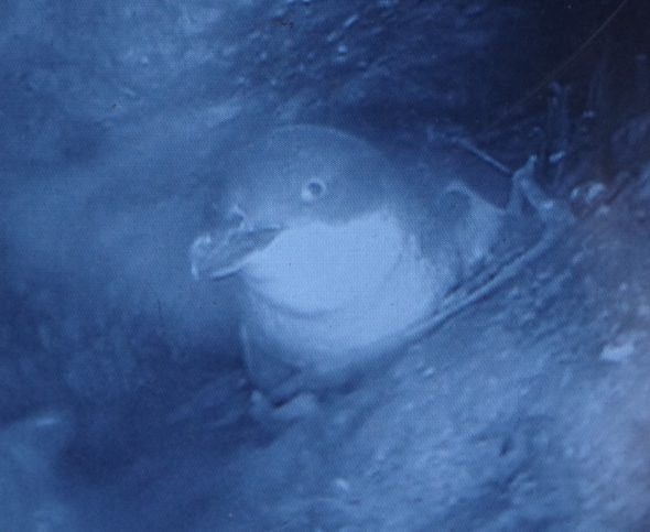 A little penguin on its nest (eggs concealed), as seen through a burrowscope, Taumaka, September 2016. Image: Colin Miskelly, Te Papa