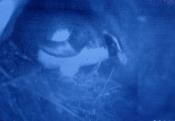 A tawaki incubating its two eggs, as seen through a burrowscope, Taumaka, September 2016. Image: Colin Miskelly, Te Papa
