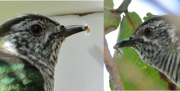 Shining cuckoo holding gum-leaf skeletoniser caterpillars. Images: Rob Lynch