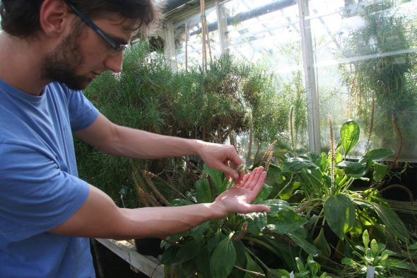 PhD student Gustavo Hassemer showing me some of the Plantago specimens he has cultivated in the glasshouse at the Botanic Garden. Sept 2016. Photo by Heidi Meudt.