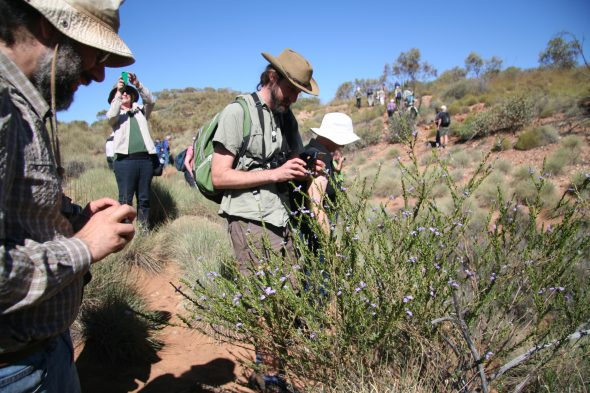 We botanists get a little bit excited when we see beautiful native plants! Here is Eremophila christophori seen on the conference field trip. Sept 2016. Photo by Heidi Meudt.