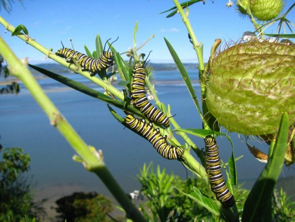 Monarch caterpillars on swan plant. Image: Mike Collins