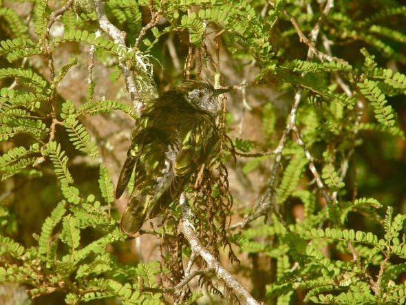 Shining cuckoo in kowhai. Image: John Flux, New Zealand Birds Online