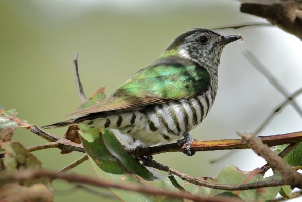 Shining cuckoo in gum-tree. Image: Rob Lynch, New Zealand Birds Online